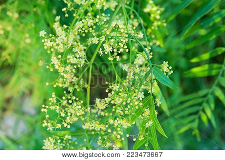 Dangling Tree Branch with Young Fresh Green Leaves and Beautiful Tender Small White Flowers. Vibrant Pastel Colors Golden Sunlight Flare. Easter Sparing Nature Awakening. Wedding Romantic Background