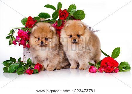 Pomeranian Spitz and flowers