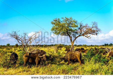 Herd of Water Buffaloes grazing in Kruger National Park in South Africa