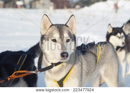 Young Siberian husky in harness before the start of the dog sledding race close-up on a blurred background