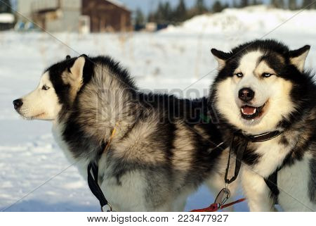 Two Siberian huskies-twins in harness before the start of the dog sledding race close-up on a blurred background