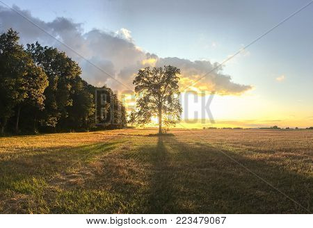 Hickory tree in field silhouetted against the sunset