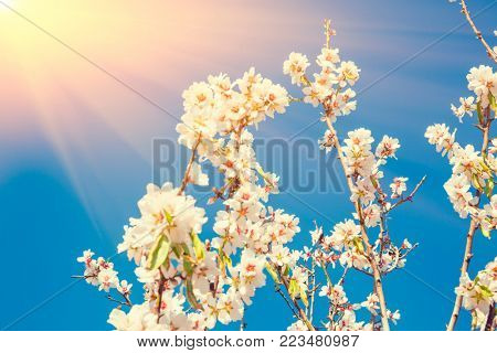 Spring blossoming garden. Close up of  blossoming flowers, sun at background