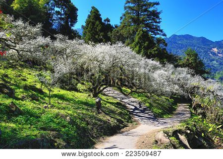 Plum blossoms blooming in the orchard with shadows and path,white flowers blooming on the branch of plum trees in a sunny day
