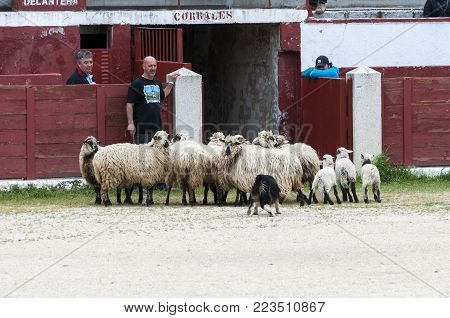 COLMENAR VIEJO - APRIL 25, 2015: Herding dog working sheep during a demonstration in Colmenar Viejo, Madrid, Spain on April 25, 2015.