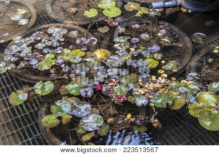 Colorado Springs, CO/USA - Circa September 2016: A cluster of lily pads at Broadmoor Seven Falls in Colorado Springs, Colorado.