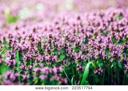 Spring sunset landscape - blooming spring mauve flowers of Corydalis halleri under the tree in the spring forest, spring landscape with forest flowers. Colorful spring lanscape view