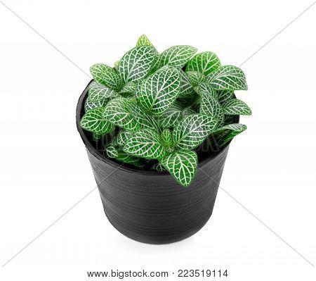 striped leaf ornamental plants in black pot istolate on white
