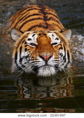 Portrait Of A Bathing Siberian Tiger