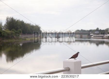 A Collared Dove standing by the river alone.