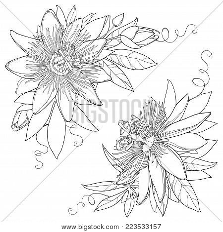Vector bunch with outline tropical Passiflora or Passion flower. Exotic ornate flowers, bud and leaf in black isolated on white background. Contour style flora for summer design and coloring book.