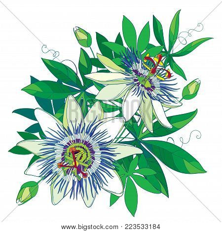 Vector bouquet of tropical blue Passiflora or Passion flower. Outline exotic flowers, bud and leaf isolated on white background. Composition with floral elements in contour style for summer design.