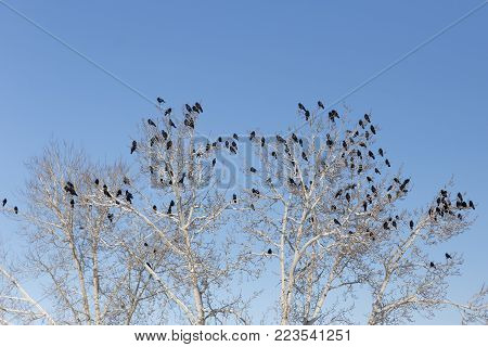 Ravens on the branches of a tree, clear blue sky, winter weather