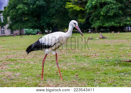 Close up on black and white stork ( Ciconia ciconia Linnaeus ) in natural park