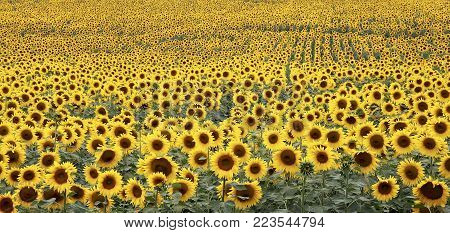 Field of blooming sunflowers. Sunflower symbol of the sun.