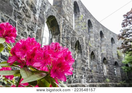 Rhododendron ponticum at historic McCaig's Tower in Oban, Argyll - Scotland