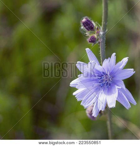Useful plant chicory (Cichórium). on blurred background.