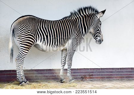 Zebra standing in front of a white wall.