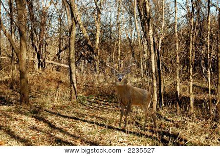 Buck 1