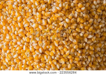 Corn for popcorn seen from above at full frame.