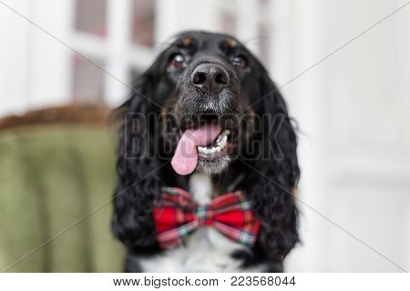 focus on the nose. Dog spaniel in a red bow tie in the interior of the light room. Pet is three years old sitting on a chair. Red checkered necktie. best and faithful friend.
