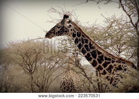 A giraffe in the wild sabana of Africa