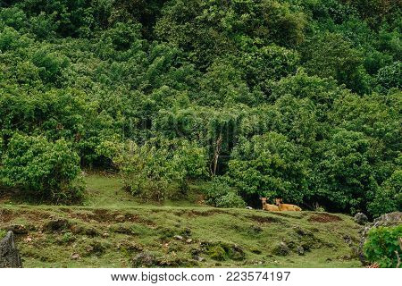 two red young female cow lie resting in the rainforest on a meadow in the greenery around and look alike in the camera.