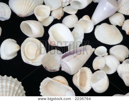 White Sea Shells On Black