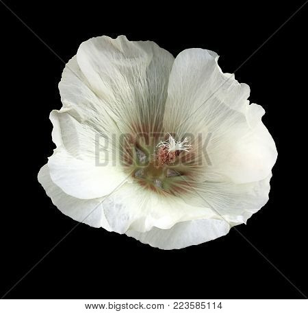 White-red flower  mallow  on the black  isolated background with clipping path  no shadows.   For design.   Closeup.  Nature.