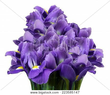 A bouquet of spring flowers of violet irises on a white isolated background. Close-up. Nature.
