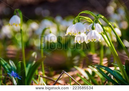 Beautiful blooming of White spring snowflake flowers in springtime. Snowflake also called Summer Snowflake or Loddon Lily or Leucojum vernum on a beautiful background of similar flowers in the forest