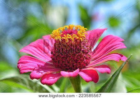 Close up of purple Zinnia flower . white Zinnia flower in the garden. Azerbaijan Zinnia.