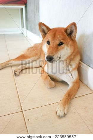 sleepy dog or sleepy shiba dog on the floor