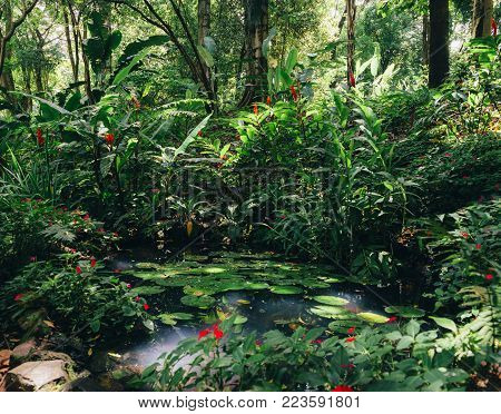 Water lillies, Nymphaeaceae, in tropical Brazilian rain forest