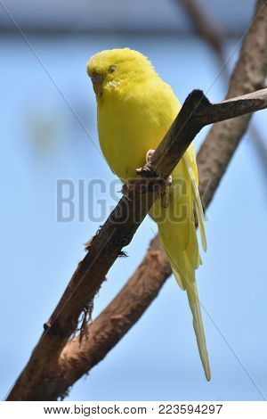 Cute Budgie Parakeet Chilling on a Branch