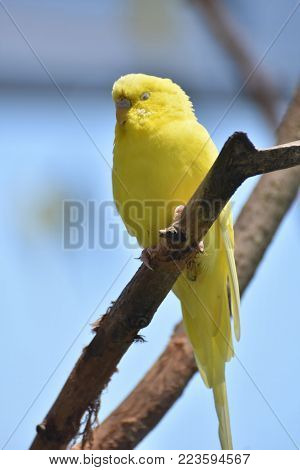 Small Yellow Budgie Bird on a Branch