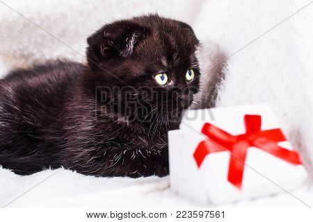Scottish Fold kitten in a plaid with gift box on white background. Love and greeting card