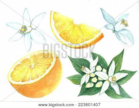 Collection of watercolor images of orange. Citrus fruits on a flowering branch. Slice of orange fruit. A set of illustrations of citrus. Handmade drawing. Isolated image on white background.