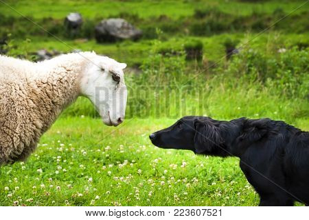 Dog Meets Sheep With Speech Balloon. Green Grass Meadow In Norway.