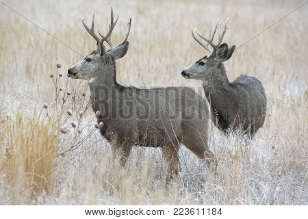 Mule Deer Buck in Snow - Wild Deer In the Colorado Great Outdoors