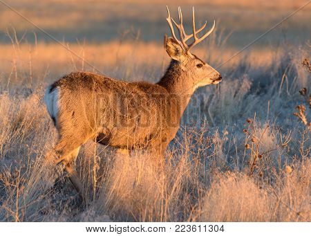 Wild Deer In the Colorado Great Outdoors - Mule Deer Buck at Sunrise