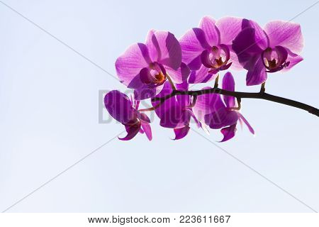 Orchid (Phalaenopsis) on a blue background. Beautiful background for your design.
