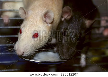 Cropped Shot Of Two Rats. Rats Eating, Close-up. Zoophobia, Pets, Rodents Concept. Cute Rats Eating, Close-Up.