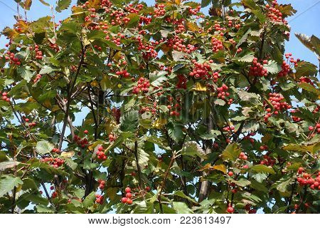 Crown of whitebeam with ripe red beriies poster