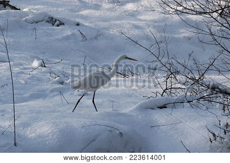 A Great white heron Ukraine. 2018. Wildlife scene from nature. Heron with snow in the nature habitat.  Wild Animals. Cold snowy winter in Europe. Closeup of White Heron standing in white  snow.