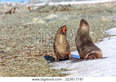 Couple of antarctic fur seals playing and barking at each other at Half Moon Island, Antarctic peninsula