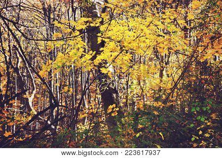 Mountain oak forest in autumn season colors