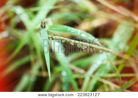 Grass in the morning with many dew drops on the stem,