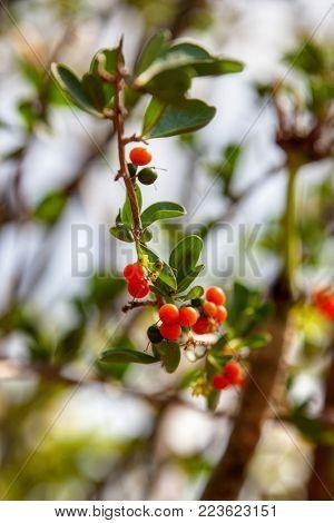 Red yaupon berries (Ilex vomitoria) against the blue sky