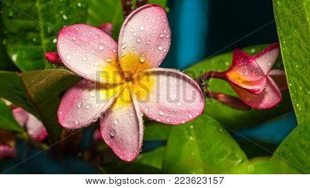 Pink frangipani flowers on a blue background